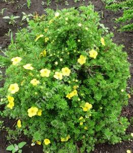 лапчатка Кобольд в самом начале цветения. Июнь 2009.