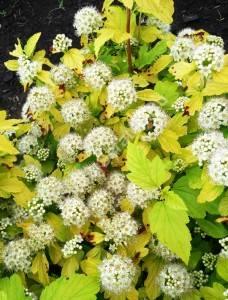 Цветение пузыреплодника Лутеус. Июнь 2009.
