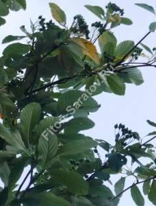 Зеленые плоды рябины ария. Германия. Июль 2009.
