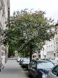 Рябина интермедия на улице города. Германия. Октябрь 2009.