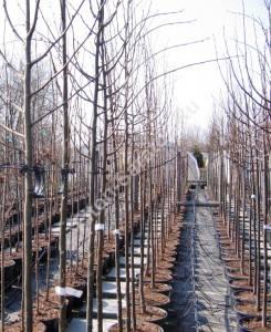 Расположение ветвей на молодых деревьях. Польша. Апрель 2007.