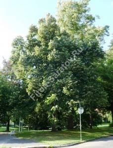 Старое дерево в городском парке. Чехия. Август 2008.