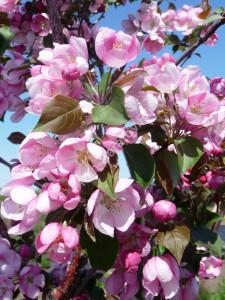 Яблоня Рудольф на маточнике питомника Фитон. Цветы. Май 2011.