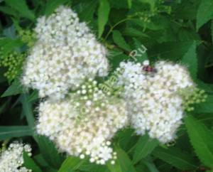 Соцветие спиреи Албафлора. Июнь 2005.
