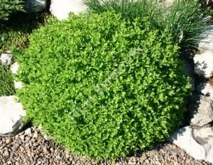 Взрослый куст спиреи Литтл Принцесс четвертого года посадки до начала цветения сохраняет идеальную геометрическую форму. Май 2005.