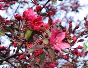 Яблоня Роялти в самом начале цветения. Польша. Май 2008.