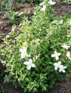 Куст чубушника Сильберреджен в конце цветения. Июнь 2007.