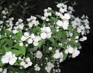 Цветение чубушника Вирджинал. Июнь 2007.