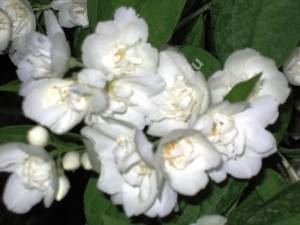 Цветы чубушника Вирджинал. Июнь 2007.