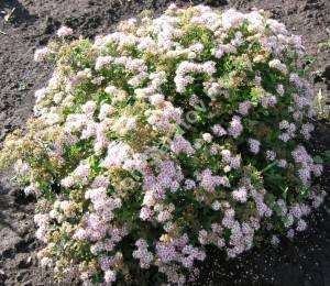 Массовое цветение спиреи Литтл Принцесс. Июль 2007.