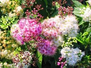 Соцветие спиреи Широбана. Июнь 2009.