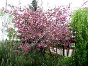 То же дерево во время массового цветения. Польша. Май 2009.