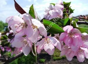 Цветение яблони Ола. Май 2009.