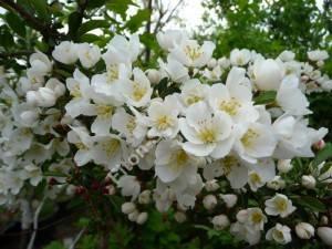 Цветение яблони Тина. Май 2009.