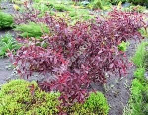 Куст сливы цисцена третьего года посадки после цветения. Июнь 2009.