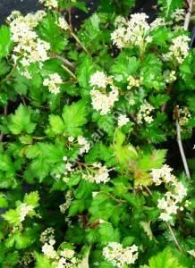 Цветение стефанандры Криспа. Июнь 2009.