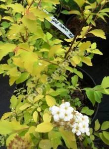 Спирея Голден Фонтан в конце цветения. Июнь 2009.