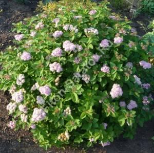Спирея густоцветковая в период цветения. Июнь 2009.