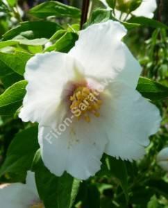 Цветок чубушника Бель Этуаль. Июнь 2009.
