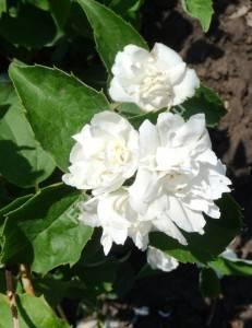 Цветение чубушника Букет Бланк. Июнь 2009.