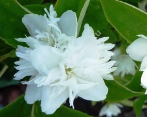 Цветок чубушника Миннесотская снежинка. Июнь 2009.