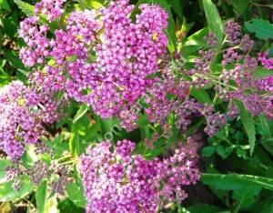 Соцветия спиреи Дартс Ред в начале цветение. Июнь 2009.