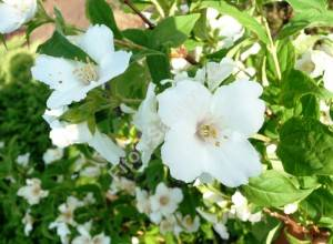 Цветение чубушника Бель Этуаль. Июнь 2009.