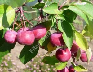 Плодоношение яблони Ола. Сентябрь 2009.