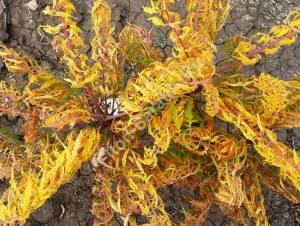 Молодое растение сумаха Глаз Тигра. Октябрь 2009.