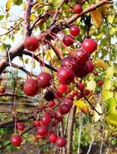 Плоды яблони Тина в конце октября, после первых заморозков. 2009.