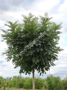 Ясень обыкновенный Нана. Крона молодого дерева. Июль 2010.