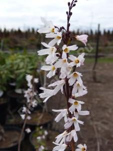 Абелиолистник двурядный. Цветы. Апрель 2010.