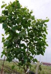 Береза белокитайская Фасцинейшн. Крона молодого дерева. Май 2012.