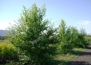 Береза даурская на маточнике питомника. Июль 2012.