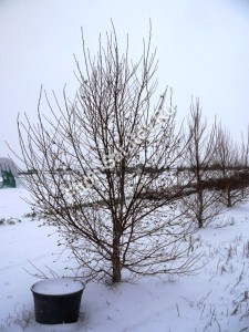 Береза даурская зимой. Ноябрь 2012.