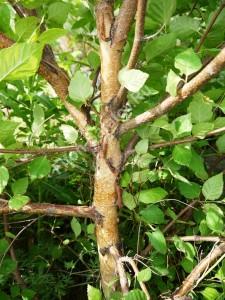 Береза даурская. Кора молодого дерева. Май 2012.