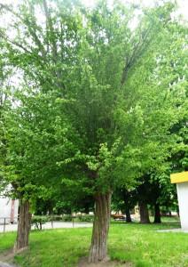 Боярышник колючий Пауль Скарлет. Старые деревья на улице в Польше. Май 2010.