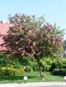Боярышник колючий Пауль Скарлет. Взрослое дерево, массовое цветение. Польша. Май 2011.