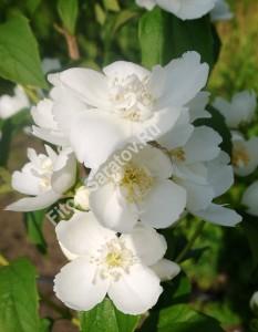 Чубушник Гибрид 1. Цветы собраны на длинных веточках. Июнь 2013.